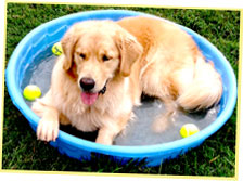 Golden Retriever in baby pool